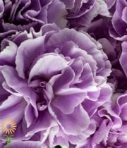 Purple And White Moonburst Carnations