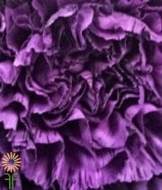 Purple Striped Moonstrike Carnations