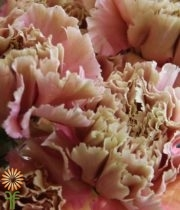 Carnations, Specialty-Terracota-beige