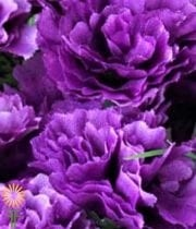 Carnations, Mini-purple
