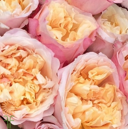 wholesale flowers | garden rose edith