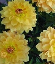 Gold-dahlias