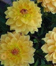 Gold Field Dahlias