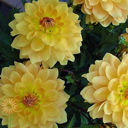 gold-dahlias wholesale