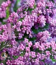 Lavender Melanthra Heather