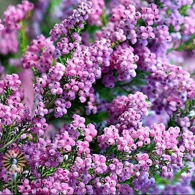 wholesale flowers | heather lavender