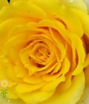 Yellow Ilios Roses