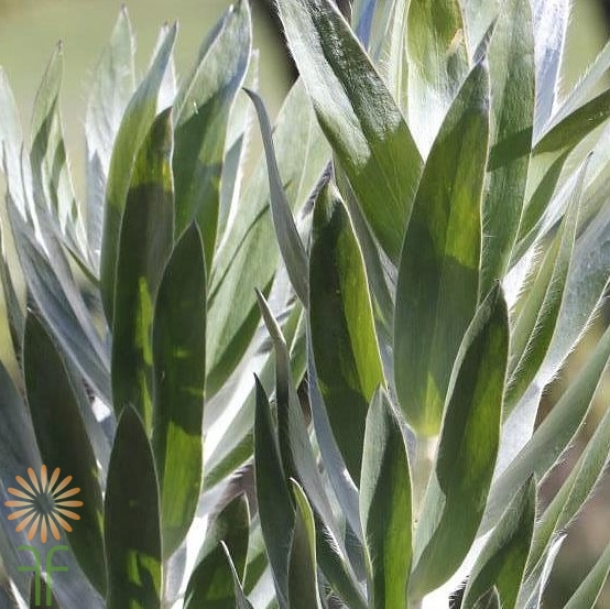 wholesale flowers | leucadendron- silver tree