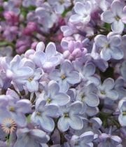 Lavender Dutch Lilac