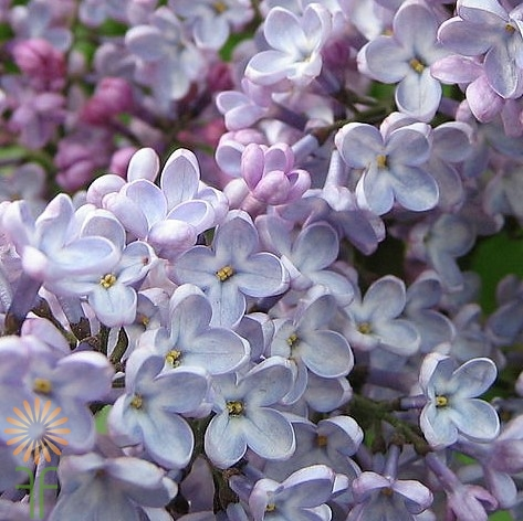 wholesale flowers | lilac- lavender