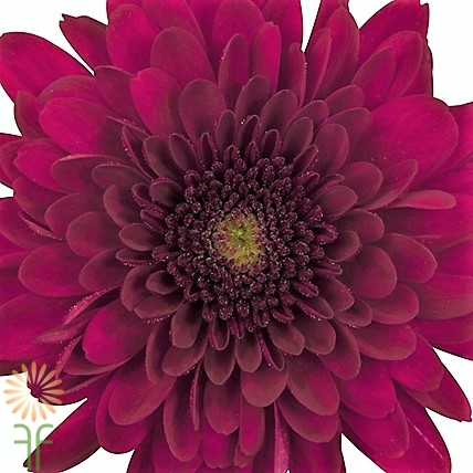 wholesale flowers | mums- red