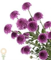 Purple Button Spray Mums