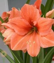 Peach Amaryllis (3 Stems)