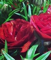 Red Butterfly Ranunculus