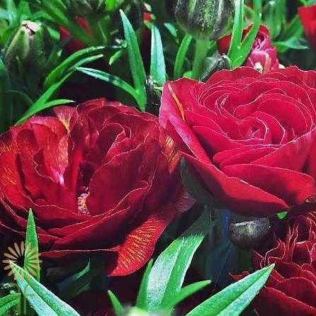 wholesale flowers | ranunculus butterfly red