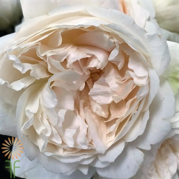 wholesale flowers | garden rose  purity