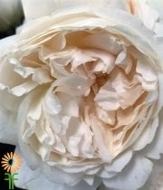 White Purity Garden Roses
