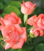 Coral Barbados Spray Roses