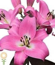 Wholesale Flowers | Oriental Lily-tabledance