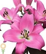 Pink Table Dance Oriental Lily