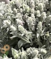 Lamb's Ear Foliage-grey