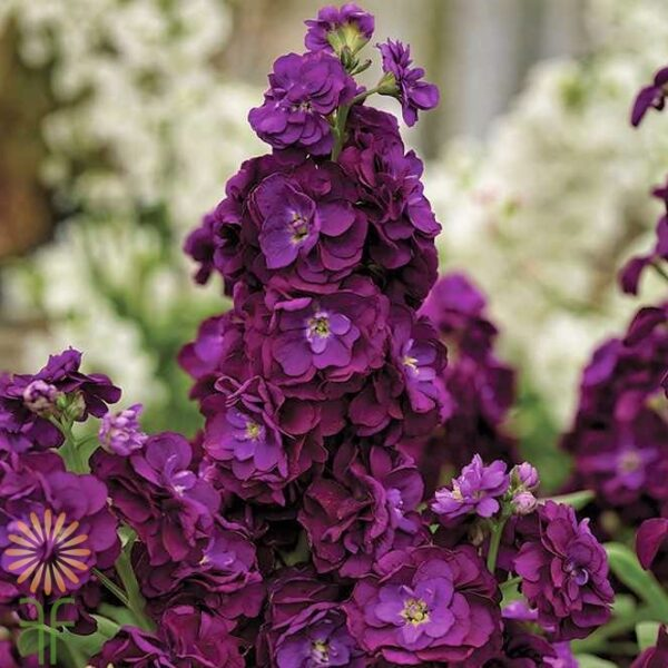 wholesale flowers | stock purple