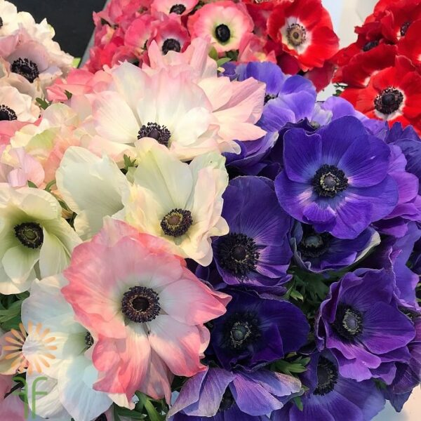 wholesale ANEMONES-ASSORTMENT
