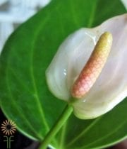 Anthurium, Mini-white