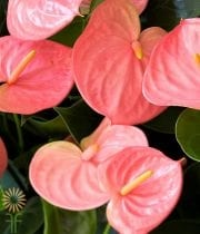 Anthurium, Mini Pink