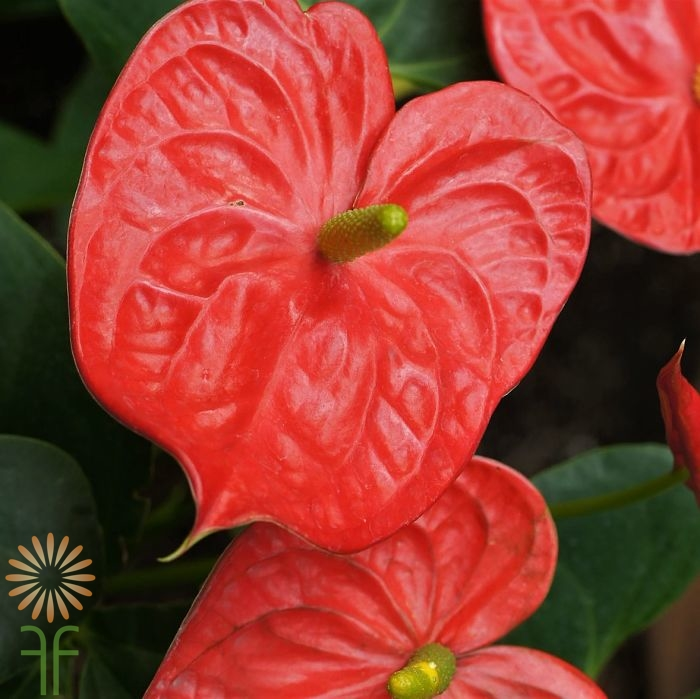 wholesale flowers red anthurium