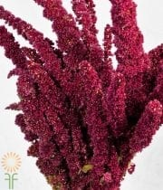 Amaranthus, Upright-red