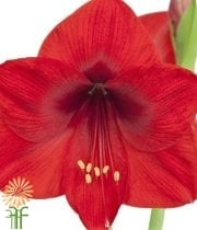 Wholesale Amaryllis Red