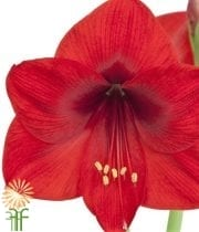 Amaryllis-red (3 Stems)