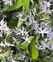 Light Blue Night Sky Amsonia