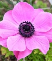 Anemone-pink Wholesale