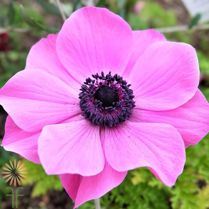 3917e52209 Buy Fresh Light Pink Anemone Flowers easily online!