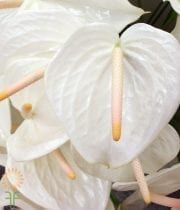 Anthurium, Large White