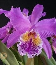 Orchid, Cattleya-purple