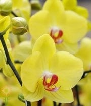 Yellow Cymbidium Orchids, Mini