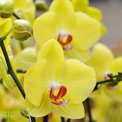 wholesale flowers | orchid- c ymbidium mini yellow