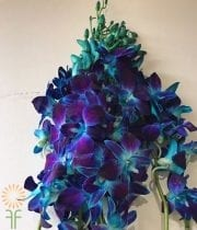 Orchid, Dendrobium-tinted Blue