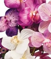 Phalaenopsis Spray-novelty