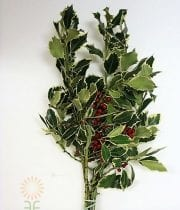 Decor, Variegated Holly 10lb Case