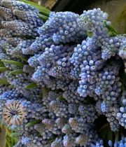 Blue Muscari Hyacinth