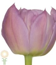 Pink/Mauve Double Price Double Tulips, 50 Stems (free Shipping)
