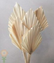 Dried Bleached Fan Palm Spears