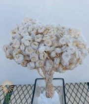 Dried White Helichrysum