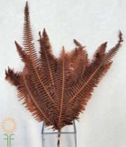 Dried Double Brown Fern