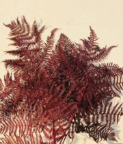 Preserved Red Leather Leaf