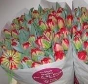 Red Pamplona Double Tulips, 50 Stems (free Shipping)